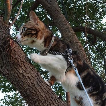 最近、木登りを覚えたにゃ。本物は爪研ぎしやすいにゃ。