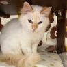 ゆっくり人馴れ中のふわふわ美猫メル