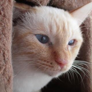 青い瞳の綺麗な猫ちゃんです。