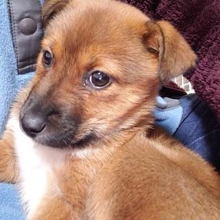 雑種の子犬、まこちゃん♀推定2ヶ月