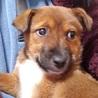 雑種の子犬、まこちゃん♀推定2ヶ月 サムネイル3