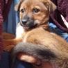 雑種の子犬、まこちゃん♀推定2ヶ月 サムネイル4