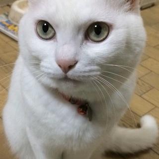 緑色の目をした綺麗な白猫です。