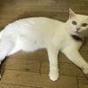 緑色の目をした綺麗な白猫です。 サムネイル5