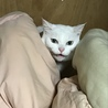 緑色の目をした綺麗な白猫です。 サムネイル7