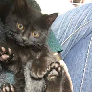 なつっこいモフモフ黒猫の子猫