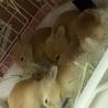 子ウサギの里親様募集(相談中につき一時受付中止 サムネイル2