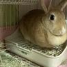 子ウサギの里親様募集(相談中につき一時受付中止 サムネイル3