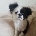 チワワの子犬パンくん♂3ヵ月
