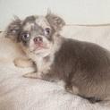 チワワの子犬イザムくん♂3ヵ月