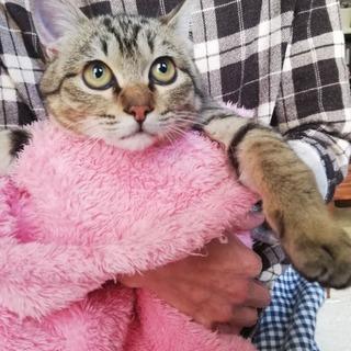 ★素直な甘えん坊な子猫キジトラ★