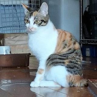 美猫 三毛三姉妹(黒縞柄)