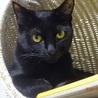 きれいな黒猫☆美黒(ミク)ちゃん 9カ月
