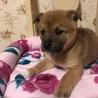 2ケ月半くらい MIX子犬 女の子 サムネイル2