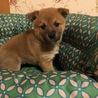 2ケ月半くらい MIX子犬 女の子 サムネイル3