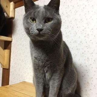 ★ロシアンブルーっぽいロン君