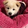 2ケ月半 MIX子犬 男の子