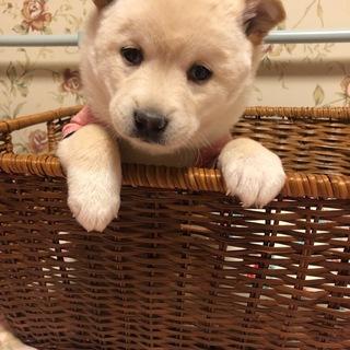 2ケ月半 MIX子犬 女の子