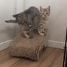 人懐こいキジさび子猫