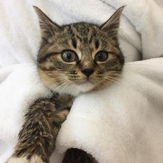 初心者OK!お子さんOK!スリゴロ避妊済みの子猫