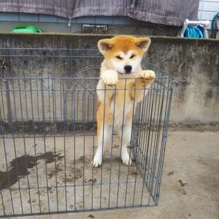秋田犬の里親募集中です