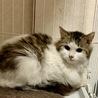 ノルウェージャン風の子猫です♪ サムネイル5
