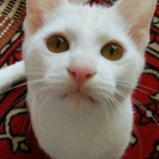 9ヶ月 白猫 美形で懐っこい しらたまくん