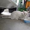 急募!人馴れした白猫リリースします サムネイル3