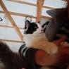 長毛パンダ!人間が大好きで穏やかな可愛い仔猫です