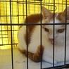 茶白小柄の可愛い猫(FIV+)