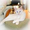 青い目・白い毛の甘えっこの男の子 先住猫OK