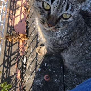 人懐っこく穏やかな可愛いオスの子猫の里親さん募集