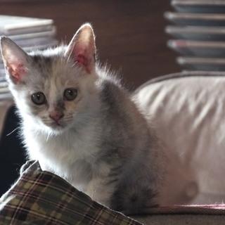 生後3か月 パステルカラーの三毛子猫 人懐こい