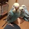 セキセイインコの雛三羽