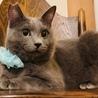 澄んだ瞳が美しいロシアンブルー風猫さん!! サムネイル3