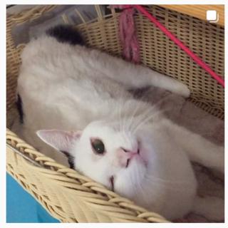 ツンデレ大人猫★もうすぐ4歳Gふぉん