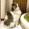 ノルウェージャン風の子猫です♪ サムネイル3