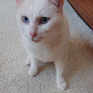 白猫ブルーアイの成猫♂@約3歳