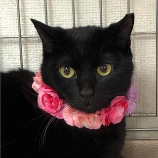 控えめに甘えてくる美人猫の★リリィちゃん!