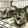 愛らしいサビ猫姉妹、まゆちゃん、クリちゃん