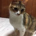 多頭崩壊からレスキュー@三毛猫約4歳