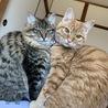 生後8ヶ月の兄妹猫