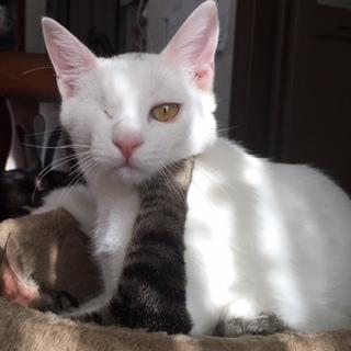 ハンディ猫 とても気さくなブランコ君 6ヵ月