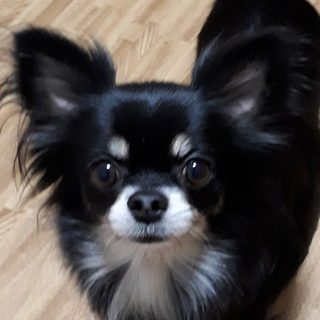 家庭犬修行中のチワワ
