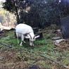 メスの雑種の山羊、元気です! サムネイル2