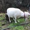 メスの雑種の山羊、元気です! サムネイル3