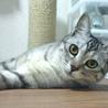 綺麗なシルバーの若猫みりんちゃん♪ サムネイル2