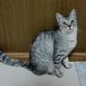 綺麗なシルバーの若猫みりんちゃん♪ サムネイル4