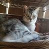 綺麗なシルバーの若猫みりんちゃん♪ サムネイル3