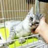 綺麗なシルバーの若猫みりんちゃん♪ サムネイル5